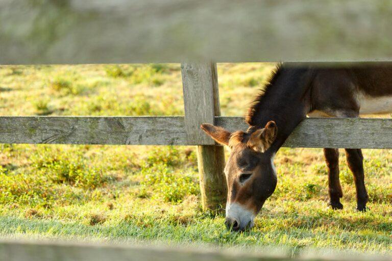donkey sticking head through fence
